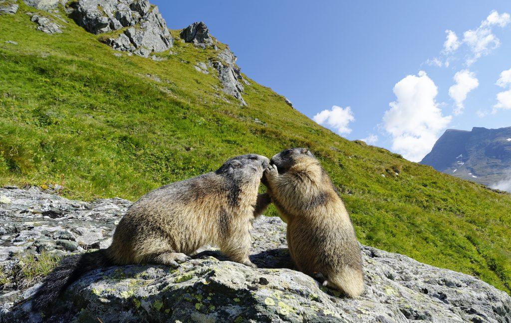 due marmotte sulle montagne della val di fassa